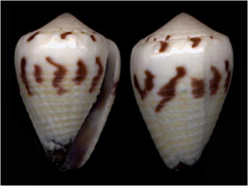 Conus (Harmoniconus) sponsalis  Hwass in Bruguière, 1792 - Page 2 H_spon10