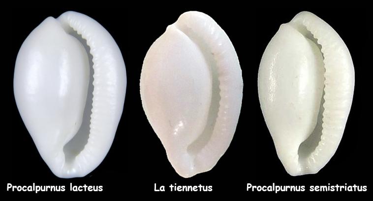 Procalpurnus lacteus - (Lamarck, 1810) La_tie10