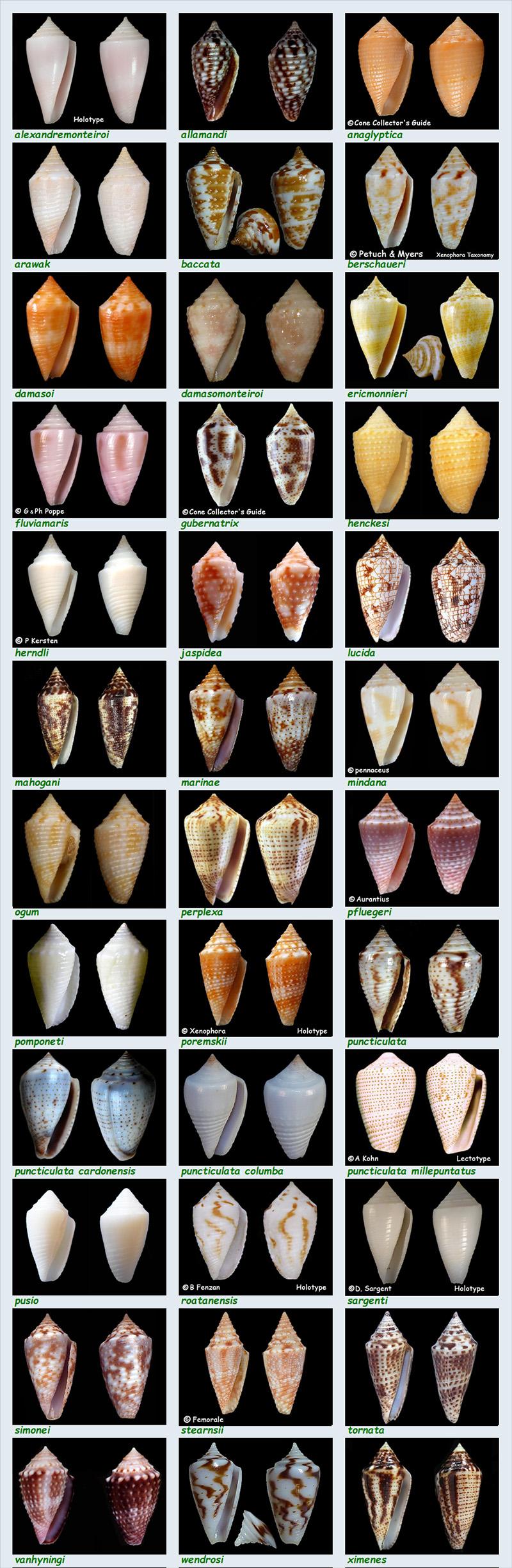 Conidae Conasprella (Ximeniconus) - Le genre, ses espèces, la planche Les_co22