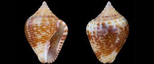 Les Columbellidae - Swainson, 1840 Les_eu10