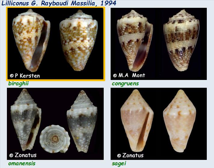 Conidae Lilliconus : Le genre, ses espèces, la planche Lillic12
