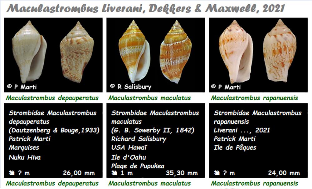 Strombidae Maculastrombus  - Le genre, ses espèces, la planche Macula13