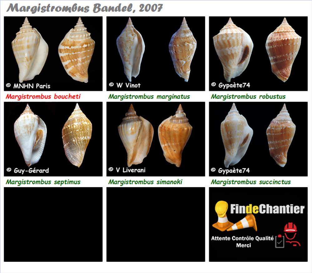 Strombidae Margistrombus - Le genre, ses espèces, la planche Margis10
