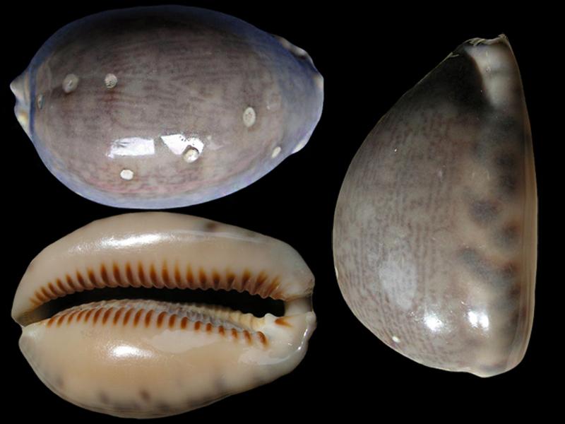 Mauritia arabica arabica griseoformis / griseoviridis - (Linnaeus, 1758) Maurit11
