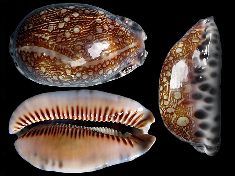 Mauritia arabica immanis var. chiara - (Bozzetti, 2008)  Maurit12