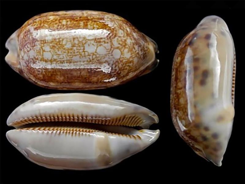 Mauritia scurra scurra - (Gmelin, 1791)  Maurit14