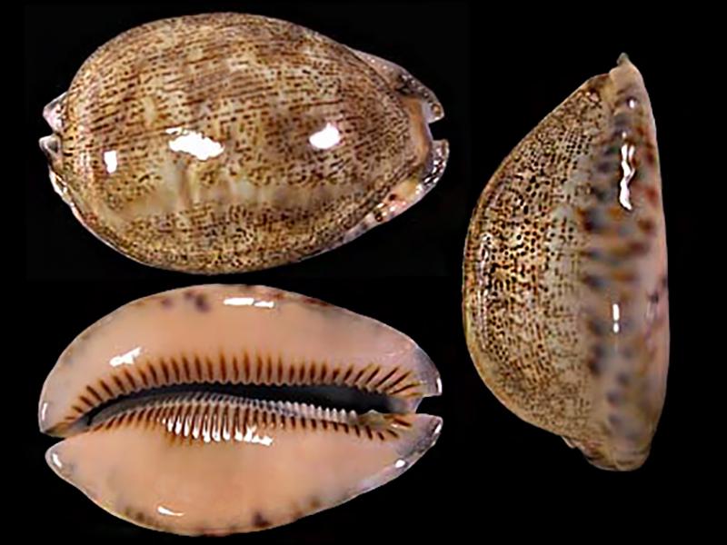 Mauritia arabica asiatica f. empressae - Kessler, 2006 Maurit16