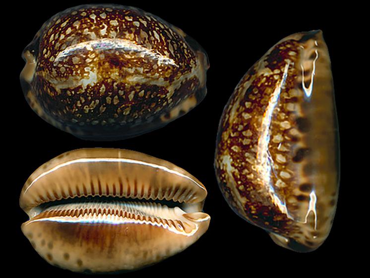Mauritia arabica immanis f. rudimaculosa - Bozzetti, 2008 Maurit19