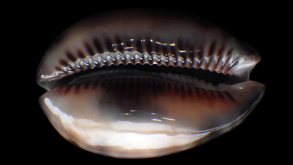 Maculifera martybealsi f. derkai (Lorenz, 2017) Maurit29