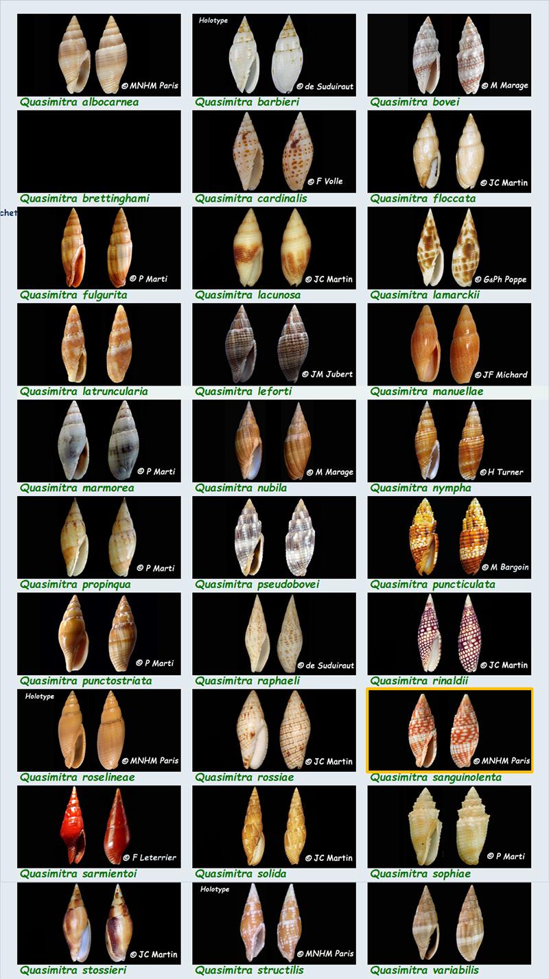 Mitridae - Mitrinae - Quasimitra - Le genre, les espèces, la planche MAJ 08/08/2018 Mitrid16