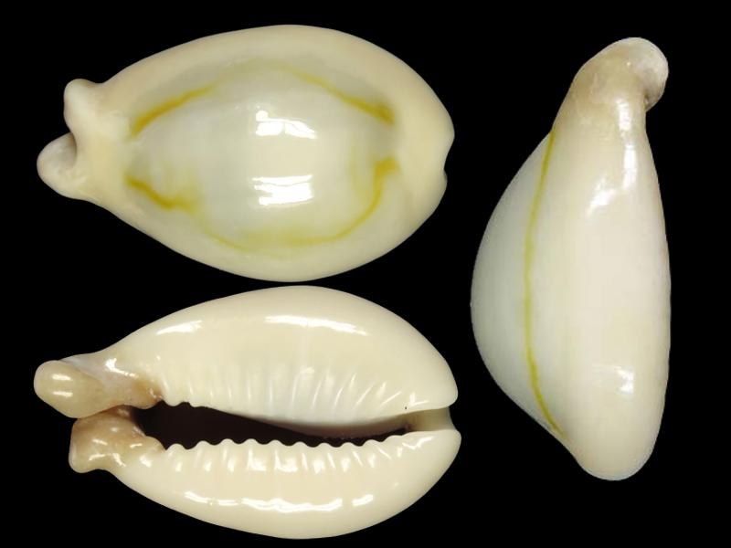 Monetaria annulus f. appendicula - (Lorenz, 1999) ou bunny Moneta10