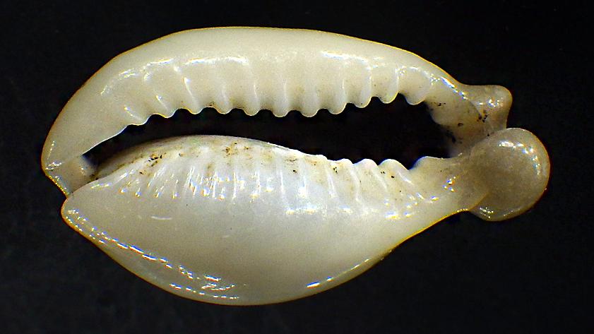 Monetaria annulus f. appendicula - (Lorenz, 1999) ou bunny Moneta17