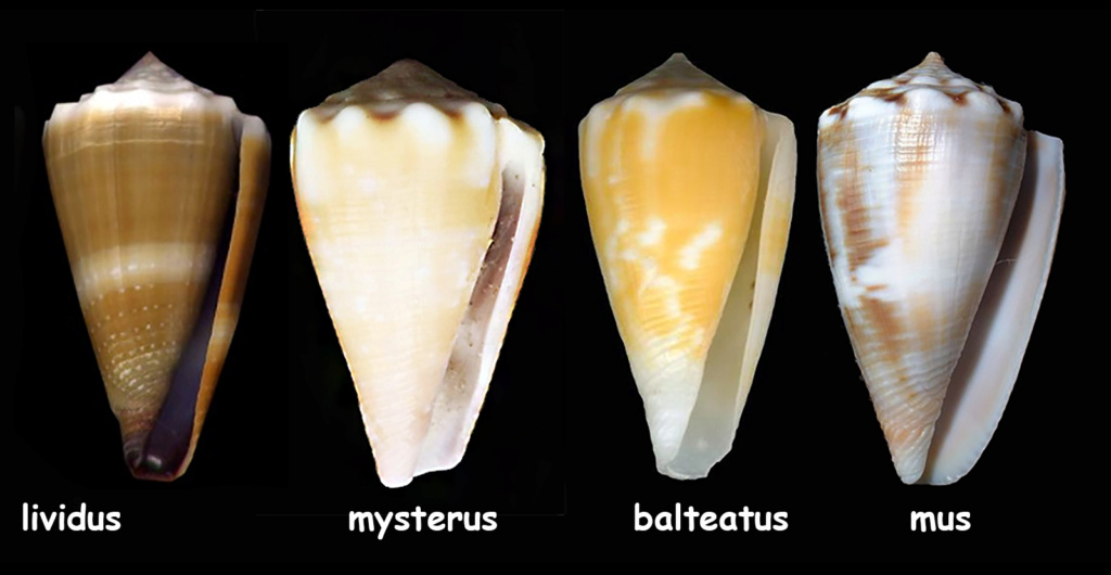 Conus  balteatus  ? Mystzo10