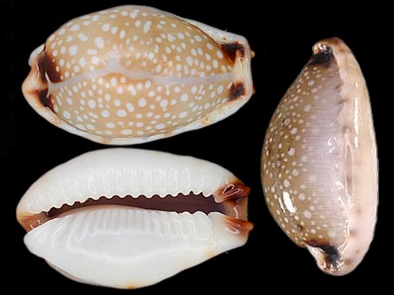 Naria gangranosa annosa - (Vayssière, 1905) Naria_14