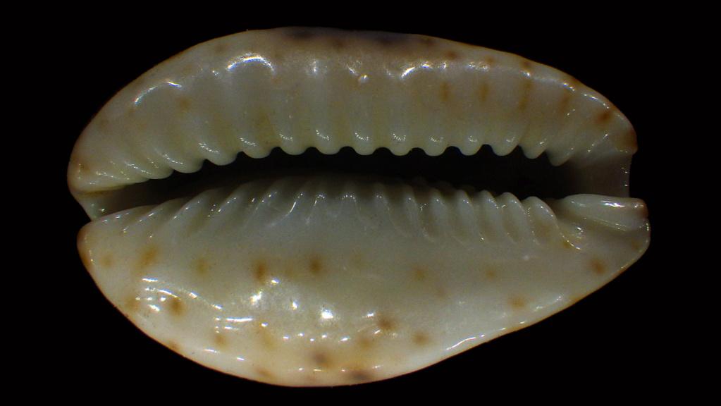 Naria nebrites f. erosaides Heiman, 2002 Naria_18