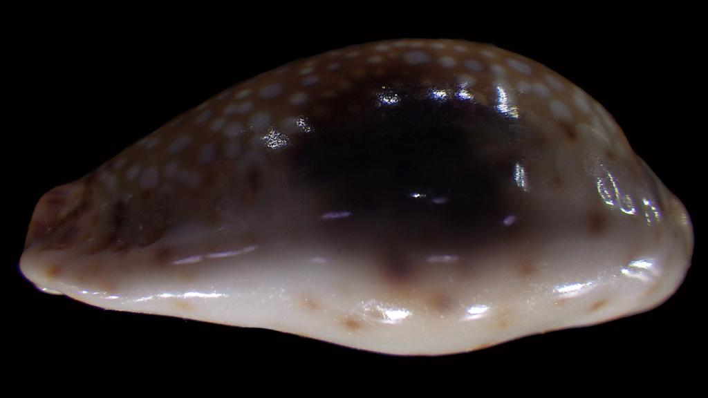 Naria nebrites f. erosaides Heiman, 2002 Naria_21