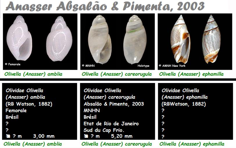 Olividae Olivella - Le genre, les espèces, la planche Olivel14