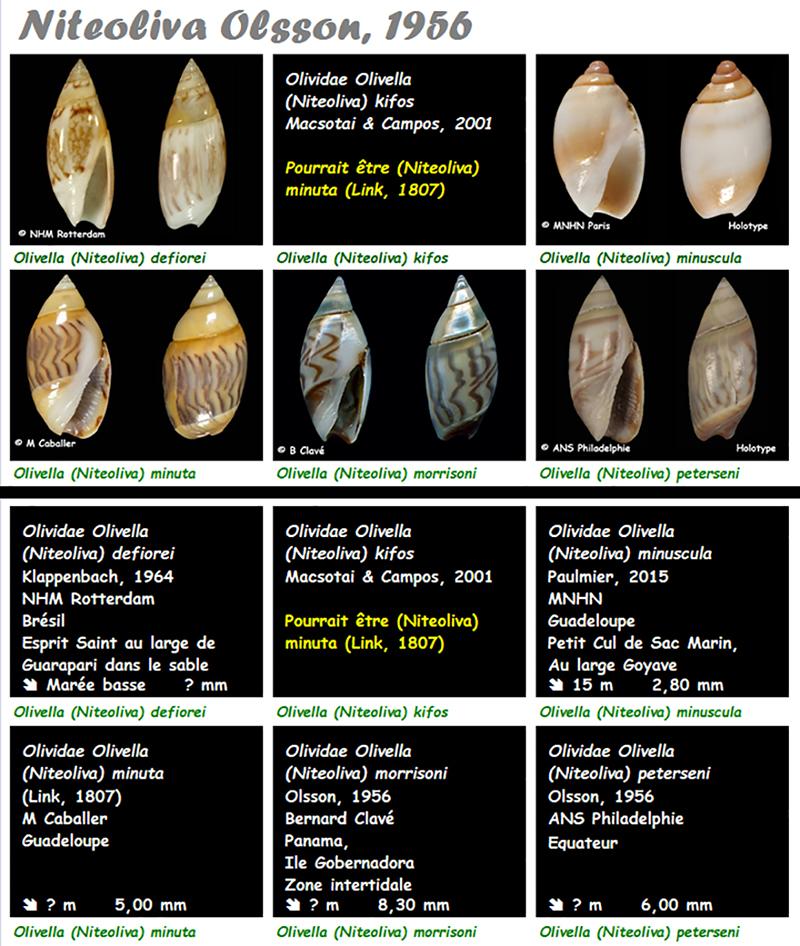 Olividae Olivella - Le genre, les espèces, la planche Olivel26
