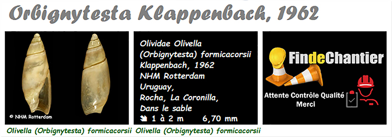 Olividae Olivella - Le genre, les espèces, la planche Olivel29