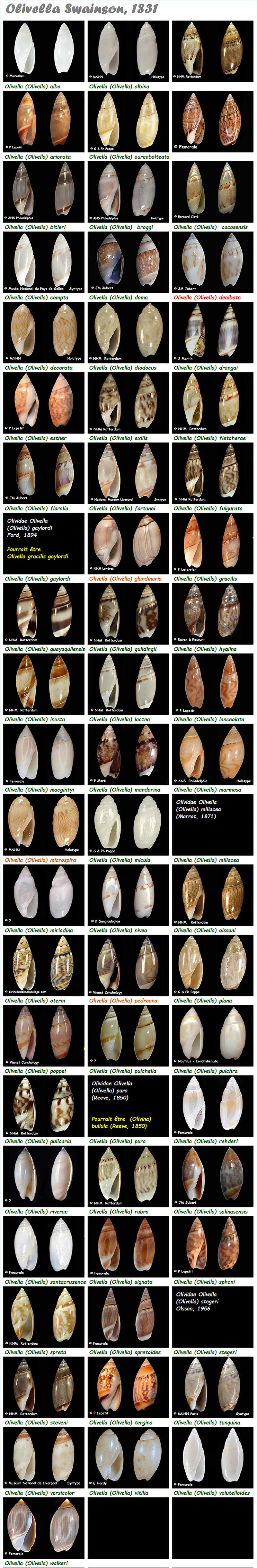 Olividae Olivella - Le genre, les espèces, la planche Olivel34