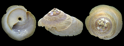 Les Xenophoridae - Troschel, 1852 (1840) Onustu11
