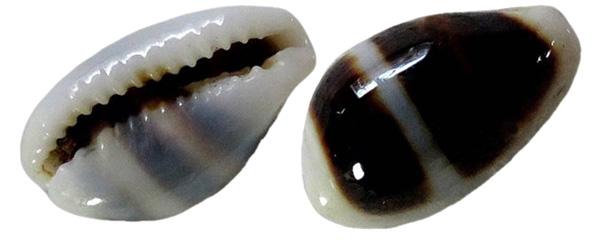 Palmadusta asellus - (Linnaeus, 1758) Palmad10