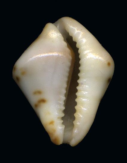 Palmadusta androyensis consanguinea f. vespertilio -  Luigi Bozzetti Palmad22