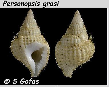 Personidae Personopsis - Le genre, ses espèces, la planche Person11