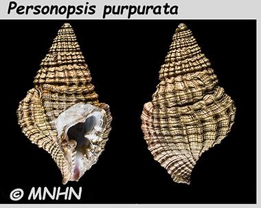 Personidae Personopsis - Le genre, ses espèces, la planche Person12