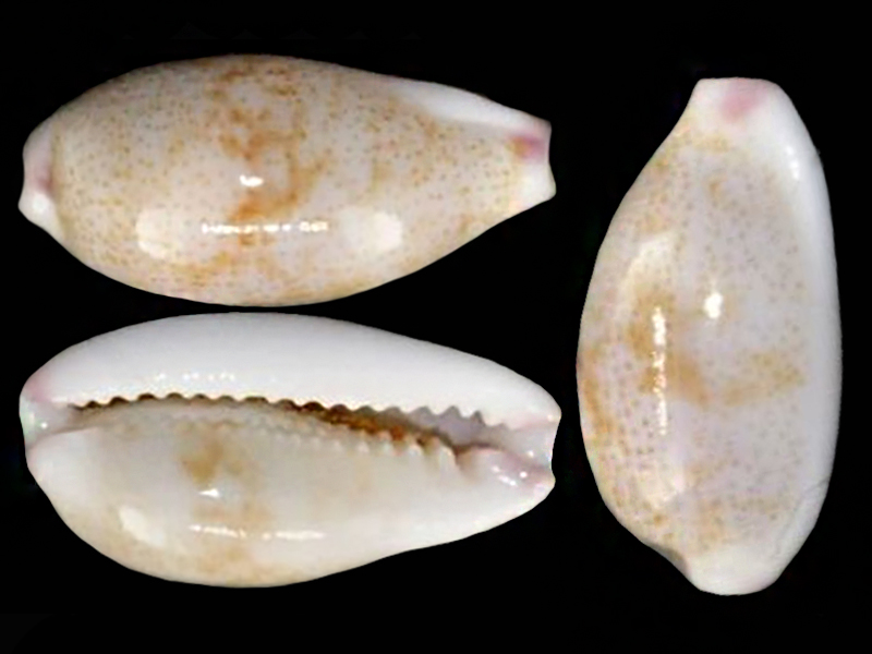 Purpuradusta fimbriata marmorata unizonata - (Schröter, 1804)  Purpur15