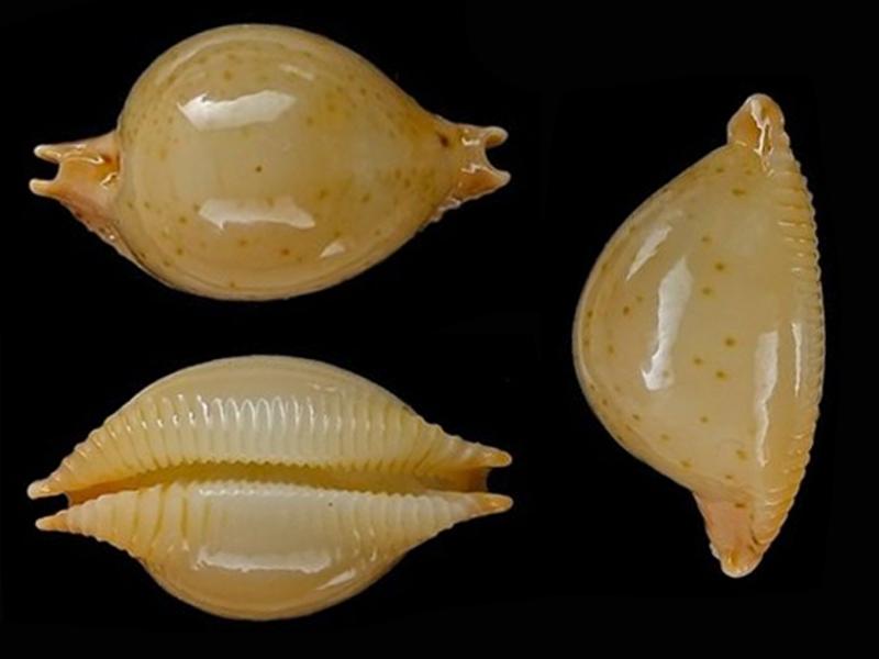 Pustularia cicercula takahashii - Moretzsohn, 2007 Pustul10