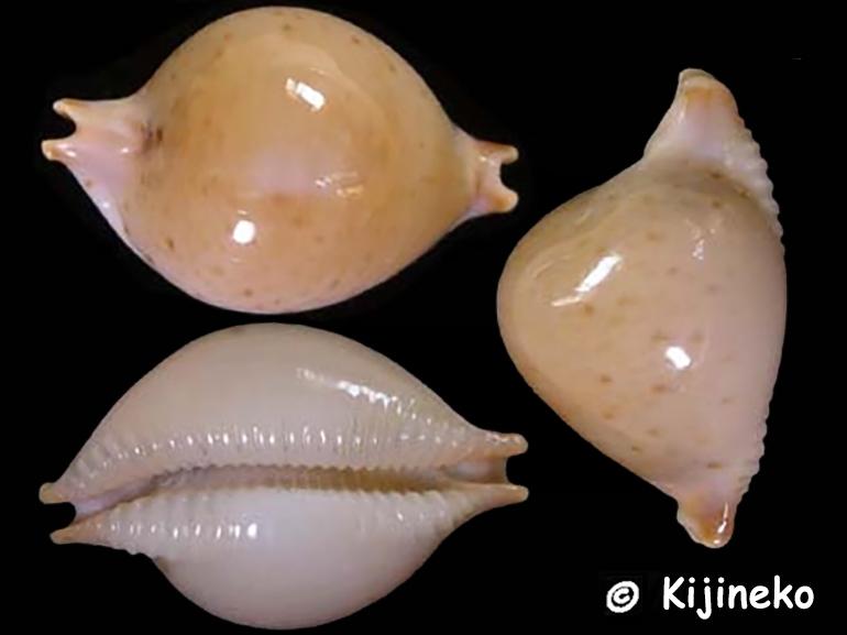 Pustularia cicercula tricornis natalensis -  (Raybaudi, 1993) Pustul13