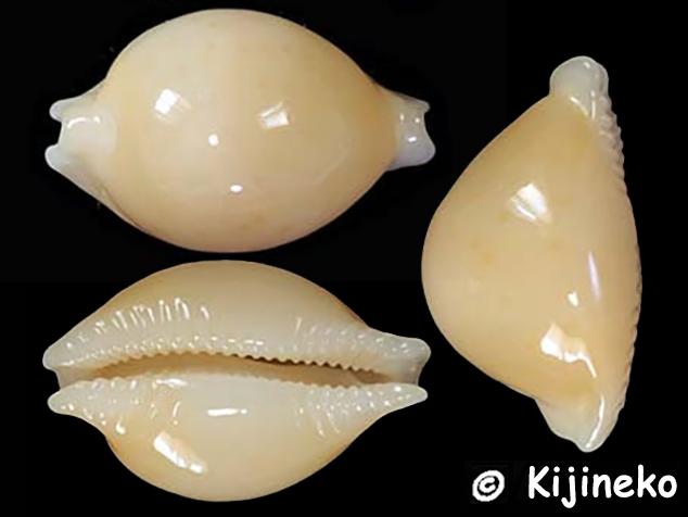 Pustularia globulus brevirostris var. grisgris  - Lorenz, 2014 Pustul14