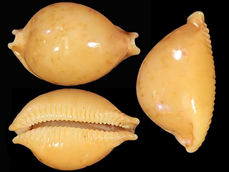 Pustularia globulus brevirostris var. deannae - Lorenz, 2014 Pustul15