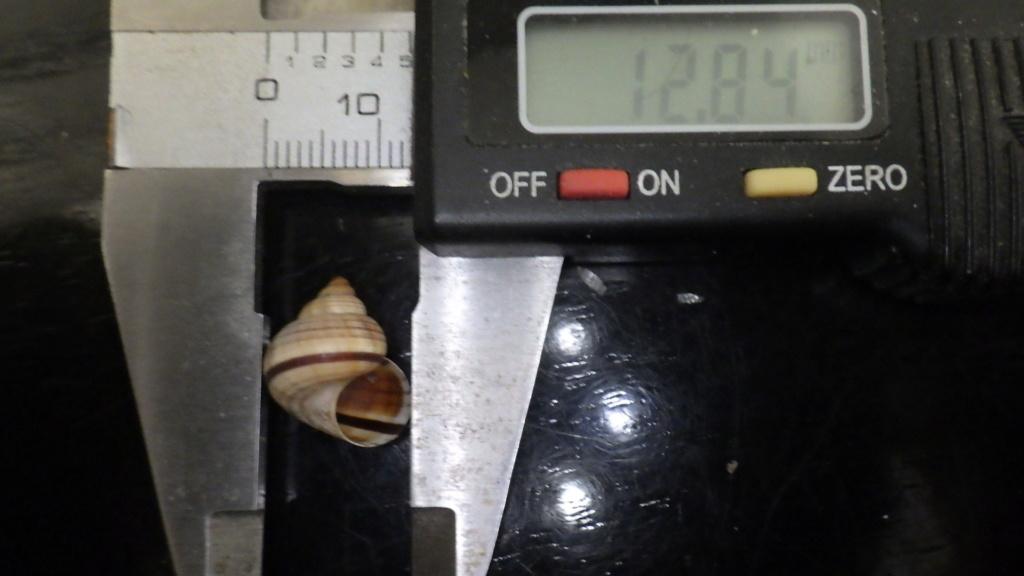 Tropidophora probablement mal étiqueté Rimg0110