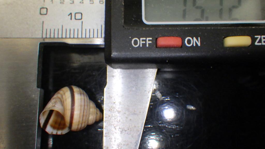 Tropidophora probablement mal étiqueté Rimg0111