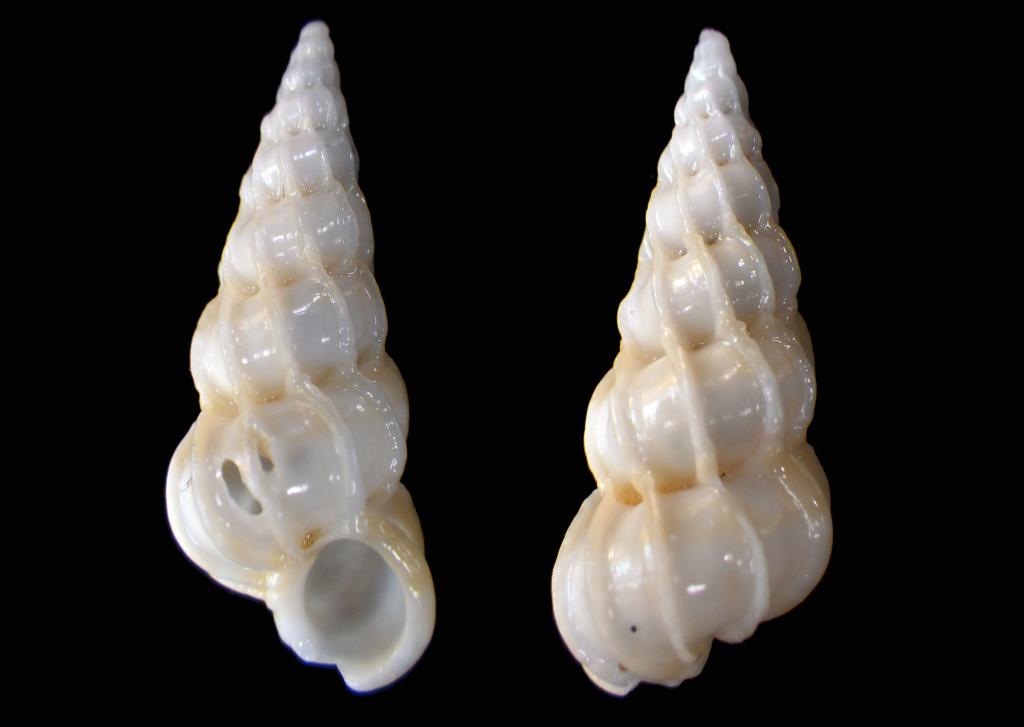 Epitonium clathrus (Linnaeus, 1758) Rimg0118