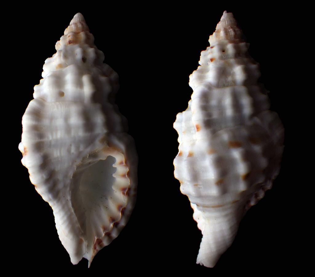 Monoplex corrugatus (Lamarck, 1816) Rimg0130
