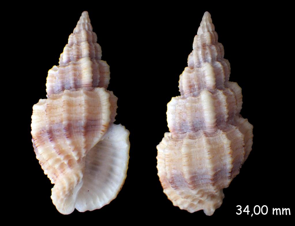 Phos senticosus - (Linnaeus, 1758) Rimg0133