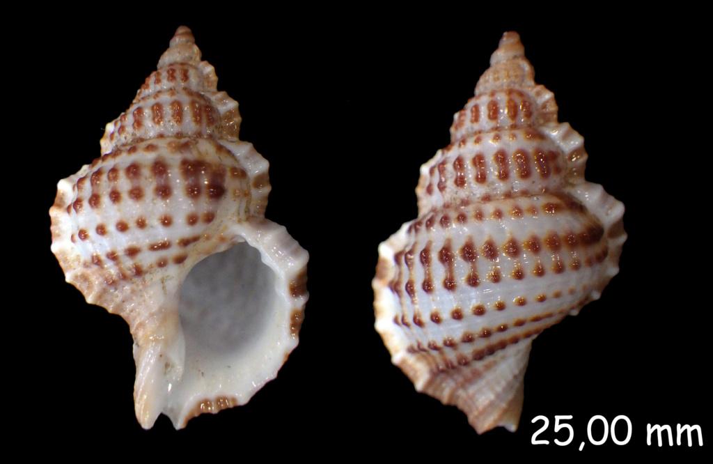 Cymatiidae Gyrineum natator - (Röding, 1798) Rimg0137