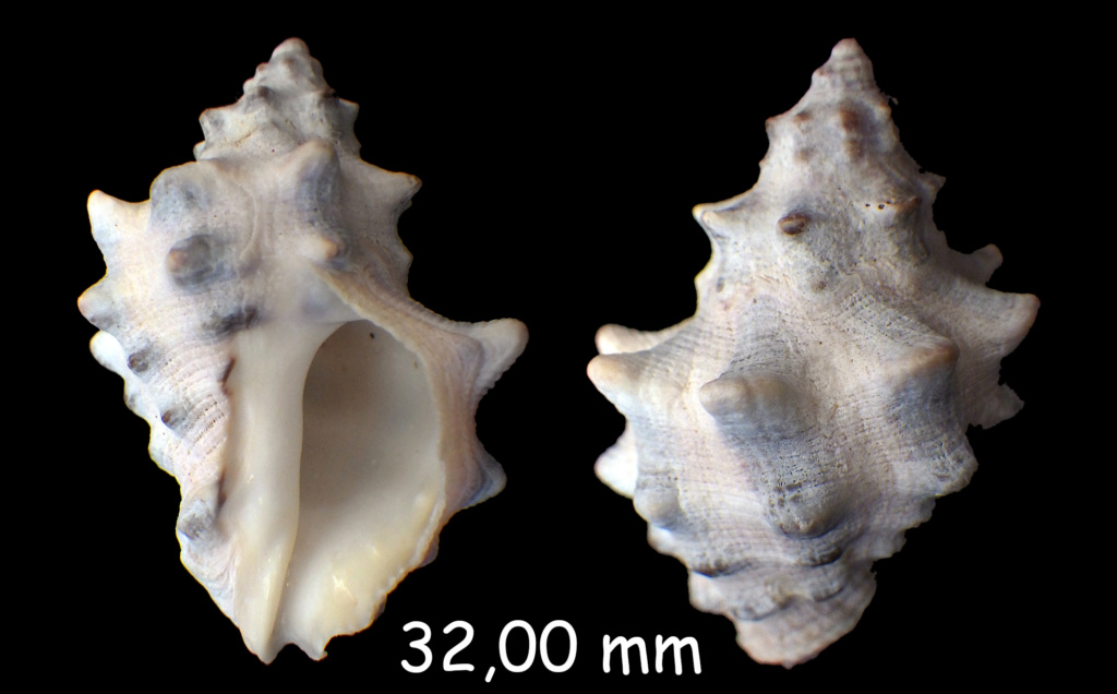 Menathais tuberosa (Röding, 1798)  Rimg0210