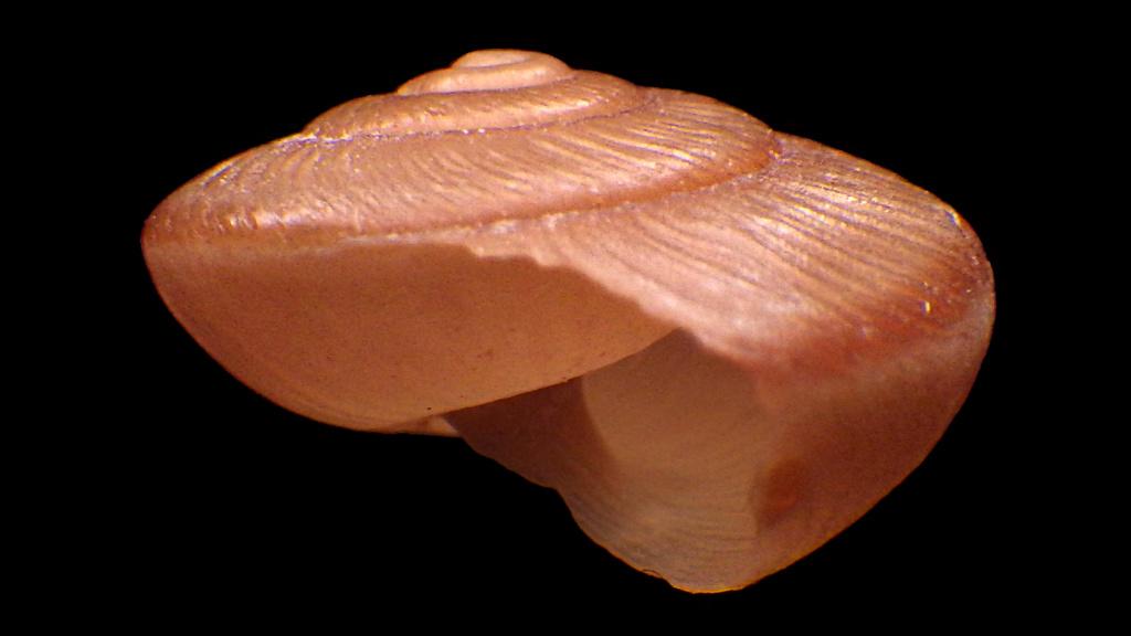 Hygromiidae à identifier Rimg0321