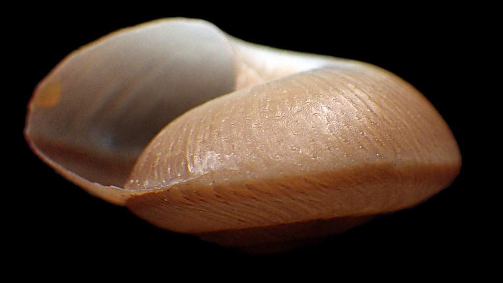 Hygromiidae à identifier Rimg0322