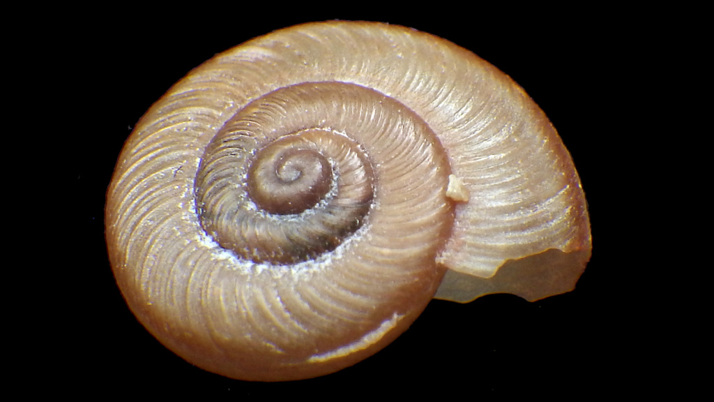 Hygromiidae à identifier Rimg0325
