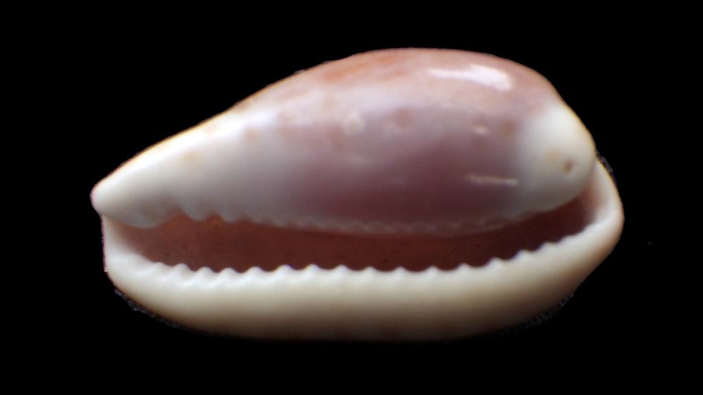 Palmadusta artuffeli - (Jousseaume, 1876) mais ça n'en ai pas une Rimg0330