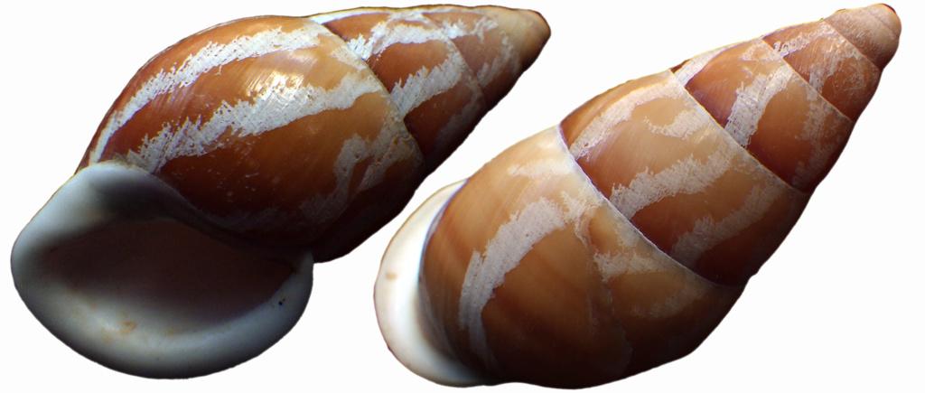 Chrysallis virgata Rimg0622
