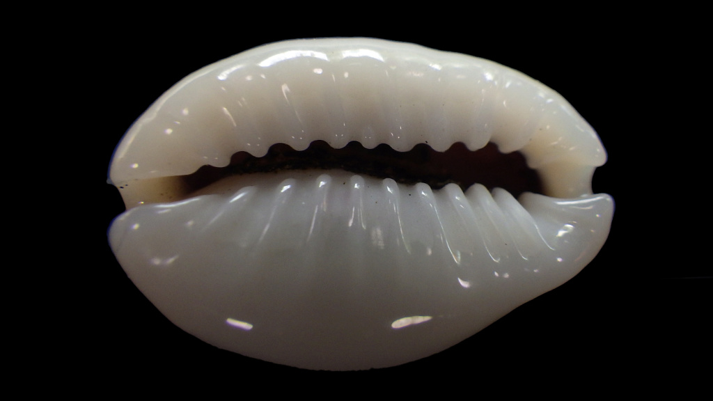 Monetaria annulus sublitorea - Lorenz, 1997 Rimg0718