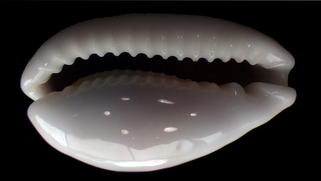 Cribrarula cribraria setepausensis - Bozzetti, 2016  Rimg0720