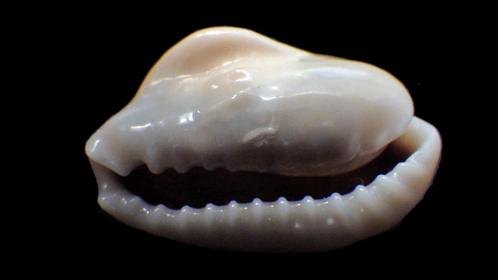 Monetaria annulus - (Linnaeus, 1758) - freak Rimg0725