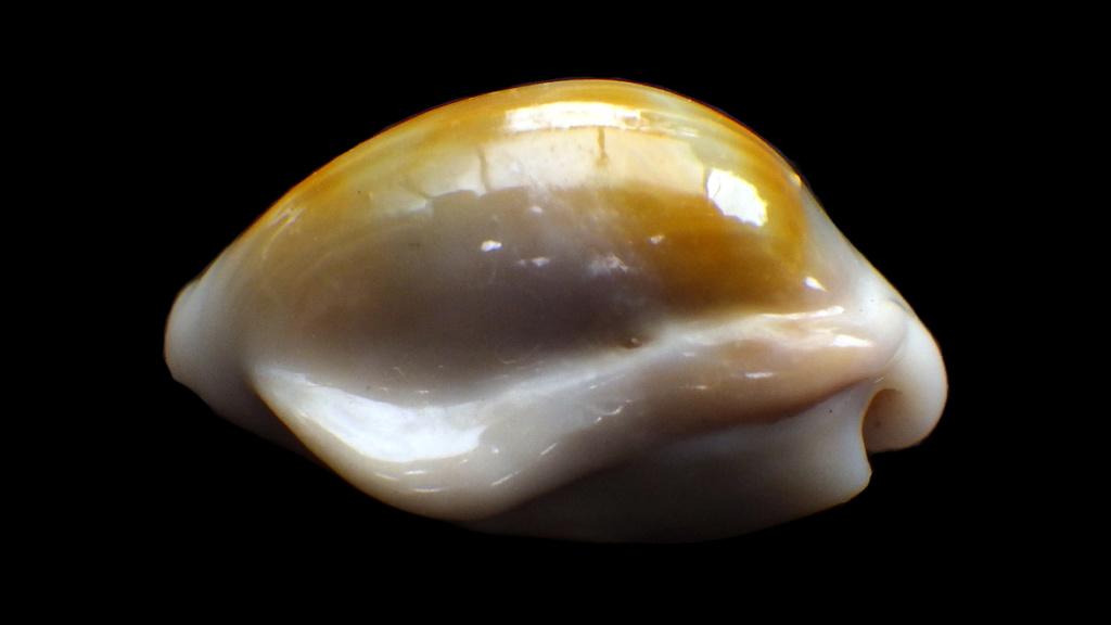 Monetaria annulus - (Linnaeus, 1758) - freak Rimg0726